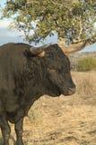 Bull noir Photos libres de droits