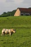 Bull nos campos Fotos de Stock