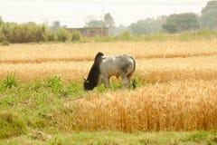 Bull o buey en el campo de trigo Fotografía de archivo