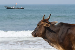 Bull Observer. A sacred bull on the shore of the warm sea. Royalty Free Stock Photo