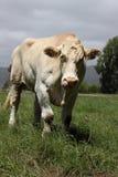 Bull in paddock. Huge bull in paddock, taller than a man Stock Image