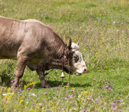 Bull on pasture Stock Image