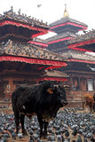 Bull and pigeons. Near the temple.Travel photo. Nepal Royalty Free Stock Photos