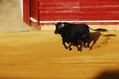 Bull in plaza de toros in Spain. Stock Photos