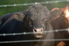 Bull, poeira e moscas fotografia de stock royalty free