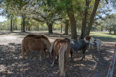 Bull and Ponies. Four ponies and a small brahma bull eating under the shade of a live oak tree Stock Image