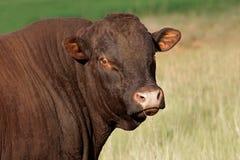 Bull portrait Stock Images