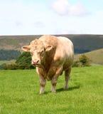 Bull. Stock Photos