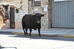 Bull preta que corre na praça de touros espanhola fotos de stock royalty free