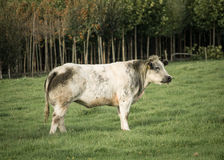 Bull preto e branco Fotografia de Stock