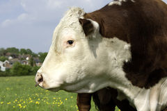 Bull profile. A head profile of a Hereford Bull in field ithe ring in nose Royalty Free Stock Images