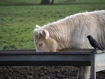Bull que come con el cuervo Fotografía de archivo libre de regalías