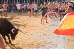 Bull que es tomada el pelo por los hombres jovenes valientes en arena después de los correr-con--toros en las calles de Denia, Es Fotografía de archivo libre de regalías