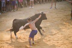 Bull que es tomada el pelo por los hombres jovenes valientes en arena después de los correr-con--toros en las calles de Denia, Es Foto de archivo libre de regalías