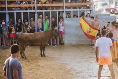 Bull que es tomada el pelo por los hombres jovenes valientes en arena después de los correr-con--toros en las calles de Denia, Es Fotos de archivo