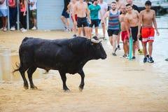 Bull que es tomada el pelo por los hombres jovenes valientes en arena después de los correr-con--toros en las calles de Denia, Es Fotografía de archivo
