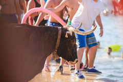 Bull que está sendo amolada por homens novos corajosos na arena após o corredor Fotografia de Stock Royalty Free