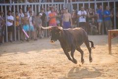 Bull que está sendo amolada por homens novos corajosos na arena após os correr-com--touros nas ruas de Denia, Espanha Fotografia de Stock Royalty Free