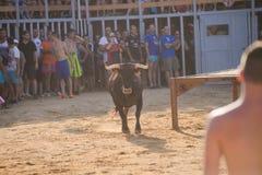 Bull que está sendo amolada por homens novos corajosos na arena após os correr-com--touros nas ruas de Denia, Espanha Imagens de Stock
