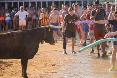 Bull que está sendo amolada por homens novos corajosos na arena após os correr-com--touros nas ruas de Denia, Espanha Foto de Stock Royalty Free