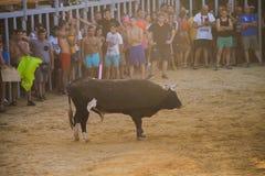 Bull que está sendo amolada por homens novos corajosos na arena após os correr-com--touros nas ruas de Denia, Espanha Imagem de Stock