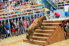 Bull que está sendo amolada por homens novos corajosos na arena após os correr-com--touros nas ruas de Denia, Espanha Imagem de Stock Royalty Free