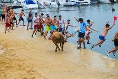 Bull que está sendo amolada por homens novos corajosos na arena após os correr-com--touros nas ruas de Denia, Espanha Foto de Stock