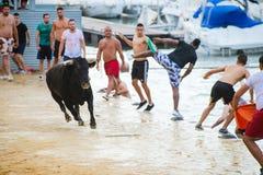 Bull que está sendo amolada por homens novos corajosos na arena após os correr-com--touros nas ruas de Denia, Espanha Fotos de Stock