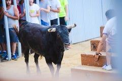 Bull que está sendo amolada por homens novos corajosos na arena após os correr-com--touros nas ruas de Denia, Espanha Fotos de Stock Royalty Free