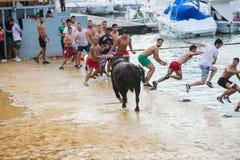 Bull que está sendo amolada por homens novos corajosos na arena após os correr-com--touros nas ruas de Denia, Espanha Fotografia de Stock