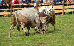 Bull que lucha en Bosnia Fotos de archivo