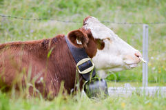 Bull que miente en la hierba Foto de archivo