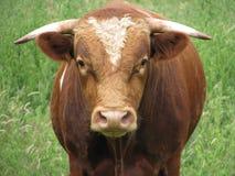 Bull que mira fijamente Fotografía de archivo libre de regalías