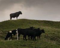 Bull que olha sobre suas vacas Imagens de Stock
