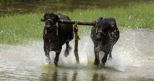 Bull Racing. Its bull racing game,its game playing at kerala,kerala is one of most beautiful city in india Stock Image
