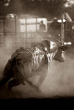 Bull in rage. Bull at rodeo - one angry bull, converted with heavy grain. wyoming, usa Royalty Free Stock Photography