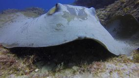 Bull Ray Or Cowtail Stingray Or Fantail Sting Ray Close Up On Coral Reef Sand