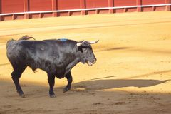 A Bull is ready to fight. A Bull is ready to fight, Seville, Spain Stock Photos