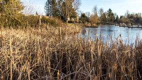 Bull Reed en invierno al borde de un lago urbano Imagenes de archivo