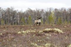 Bull reindeer: leader of herd controls appearance of predators and humans. Adult deer with velvet antlers in bog Stock Photos