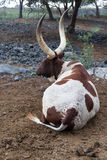 Bull Resting in Field Royalty Free Stock Images