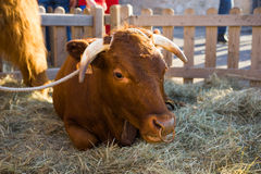 Bull resting in hay in an enclosure Royalty Free Stock Photo