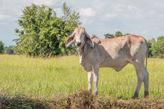 A bull Royalty Free Stock Photo