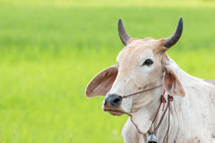 A bull. In the rice field Stock Image