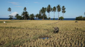 Bull in the rice field. Bull grazing on the rice field,blue sky, coconut trees, ocean.Bull in a rice field Camiguin Island (Philippines stock footage