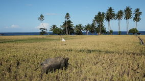 Bull in the rice field. Bull grazing on the rice field,blue sky, coconut trees, ocean.Bull in a rice field Camiguin Island (Philippines stock video footage