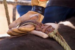 Bull Rider. Detail close up of Rodeo Cowboy's hand in leather glove competing in Bull riding Royalty Free Stock Photo