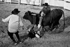 Bull rider accident Stock Photos