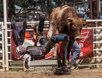 Bull Rider Goes Down Fotografía de archivo libre de regalías