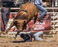 Bull Rider Goes Down Imágenes de archivo libres de regalías